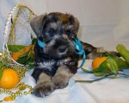 цвергшнауцер щенок на продажу