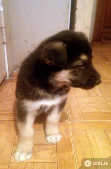 Продам щенка восточноевропейской овчарки.