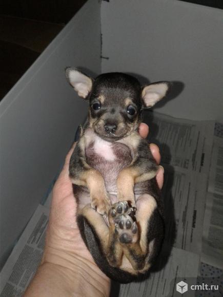 Той терьер- очень маленькая собачка. Фото 1.