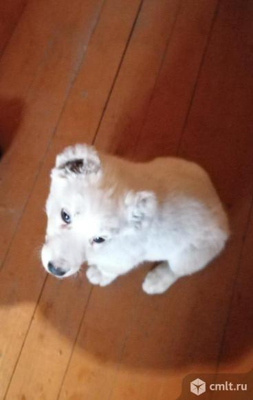Продам щенка Алабая. Фото 1.