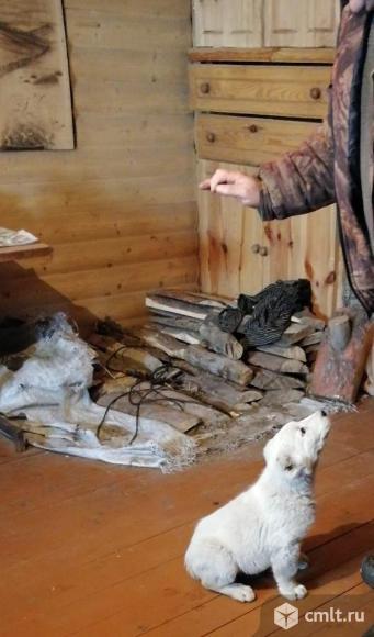 Продам щенка Алабая. Фото 2.