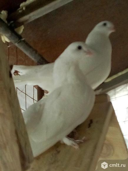 Статные голуби. Фото 3.