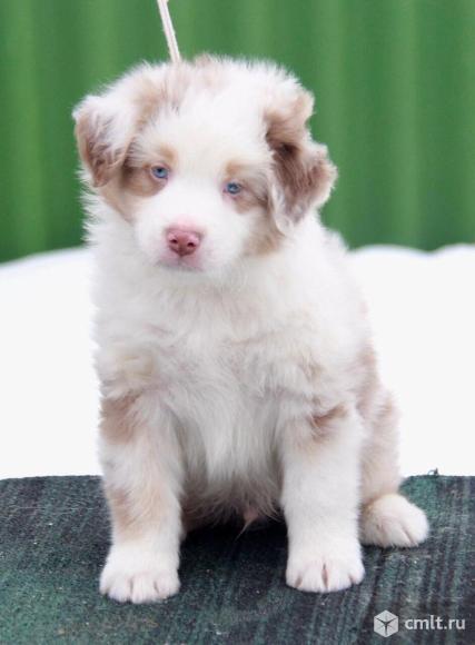Продаются алиментные щенки аусси