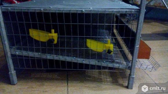 Продажа живых птиц и яиц для инкубации. Фото 4.