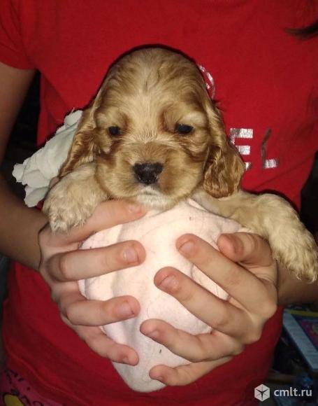 щенок кокер-спаниеля