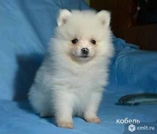"""Щенки шпица - белые """"медведики"""""""