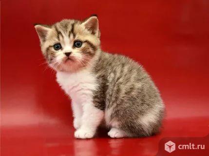 Британские элитные котята. Фото 4.