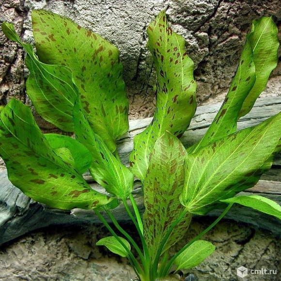 """Эхинодорус """"Оцелот"""" (Echinodorus Ozelot). Фото 1."""