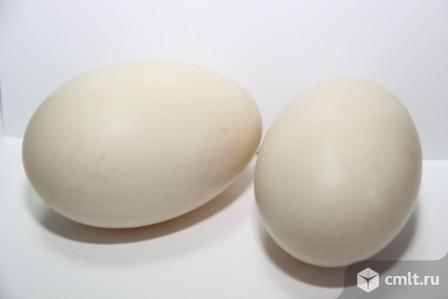 СПК «Птицефабрика Гайская» реализует утиное и гусиное инкубационное яйцо. Фото 1.