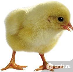 Инкубационное яйцо бройлеров, несушек, уток,  гусиное, индюшиное. Цыплята, индюшки, гуси суточные. Фото 1.