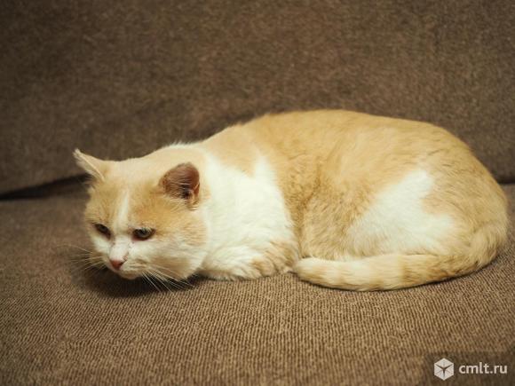 Пропал бело-персиковый кот в Подгорном. Фото 1.