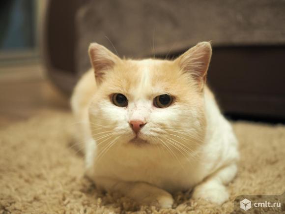 Пропал бело-персиковый кот в Подгорном. Фото 2.