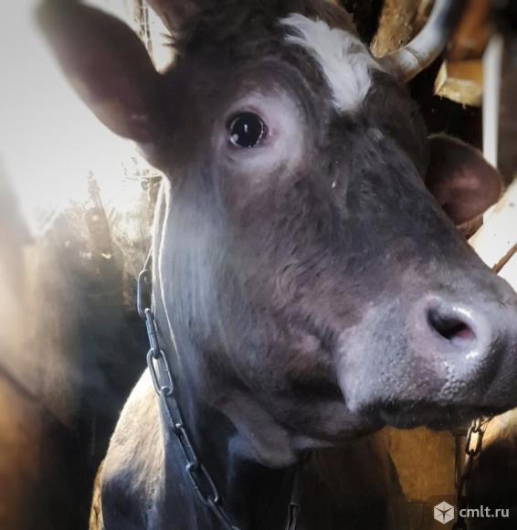 Корова, тёлочка