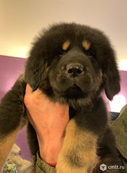 Продам щенков Тибетский Мастиф