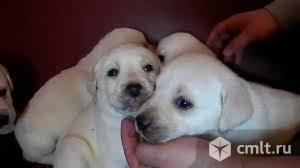 Продам щенков лабрадорчика
