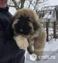 Продам щенка кавказской овчарки