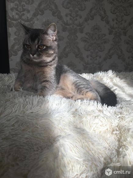 Умный и красивый британец готов делать котят. Фото 1.