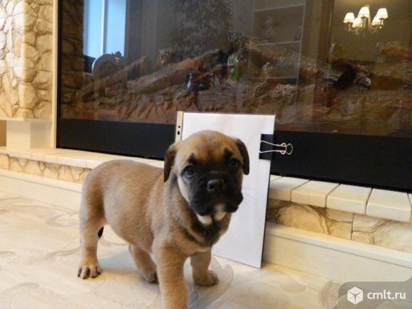 Продаю щенков ка де бо от титулованных родителей