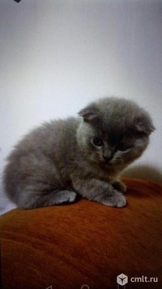 Британский котеное