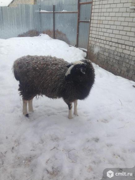 Овца. Фото 2.