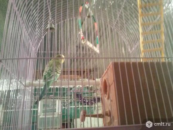 Пара волнистых попугаев с клеткой. Фото 5.