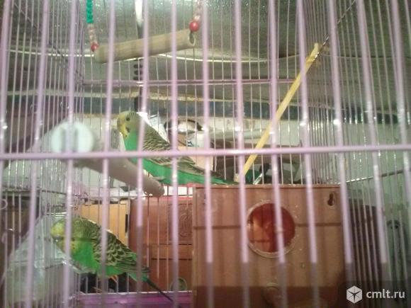 Пара волнистых попугаев с клеткой. Фото 1.