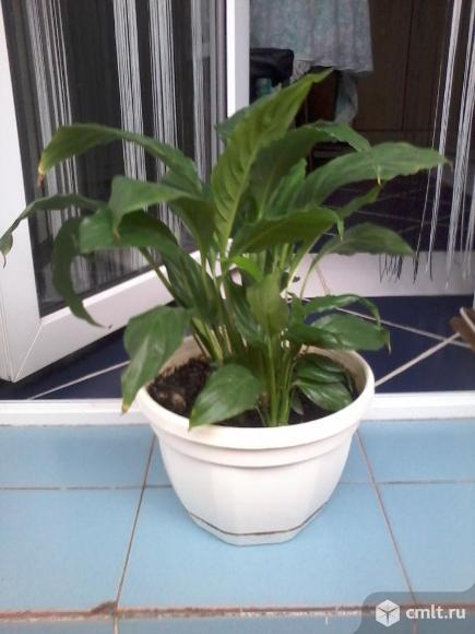 Продам много комнатных растений. Фото 7.