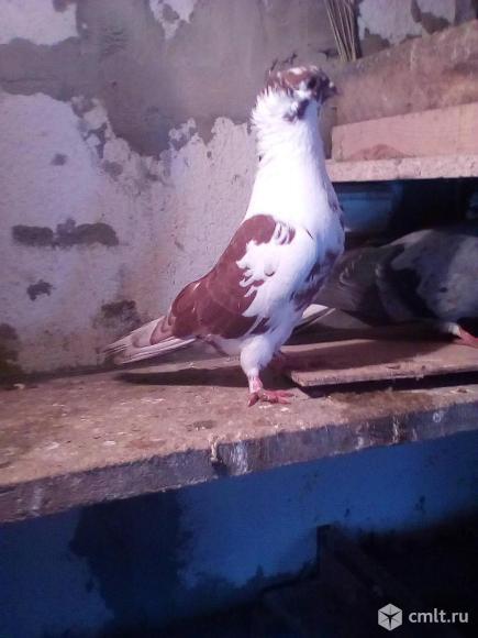 Продам голубей пародестых. Фото 12.
