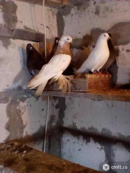 Продам голубей пародестых. Фото 1.