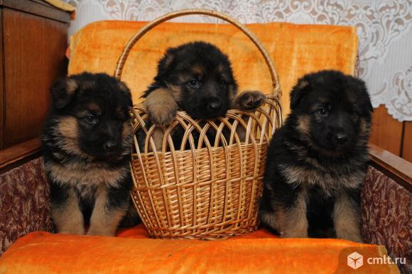 Продаю щенков немецкой овчарки. Фото 1.