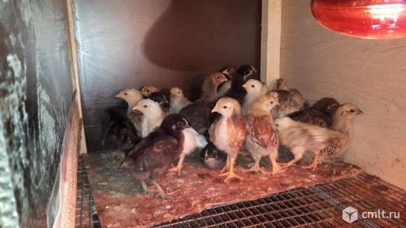Цыплята. Фото 1.
