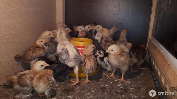Цыплята. Фото 3.