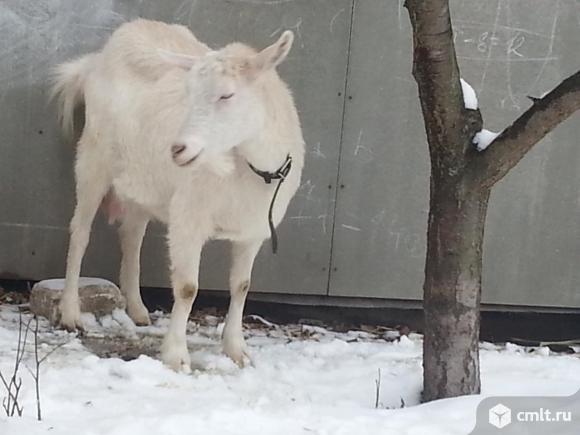 Козлята чешской породы. Фото 8.