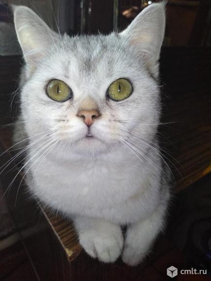 Вязка.кот серебристая шиншилла. Фото 1.