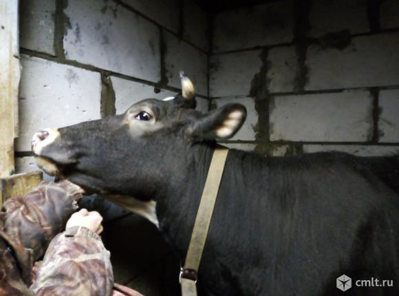 Корова Голштино-Фризская порода. Фото 1.