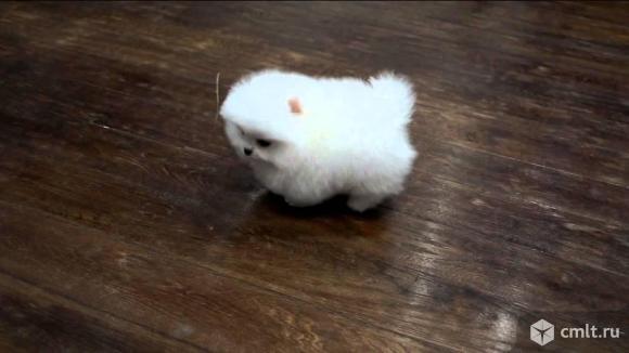 Белый мини мальчик. Фото 1.