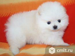 Белый мини мальчик. Фото 2.