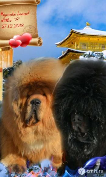 Щенки Тибетского мастифа. Фото 17.