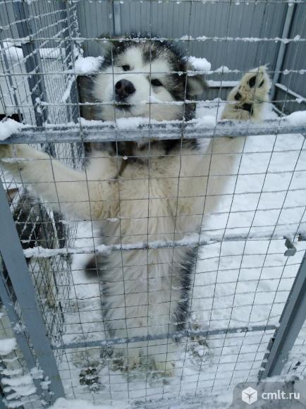 Продаю маламут аляскинский мальчик. Фото 2.
