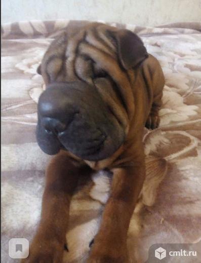 Продаю щенка. Фото 1.