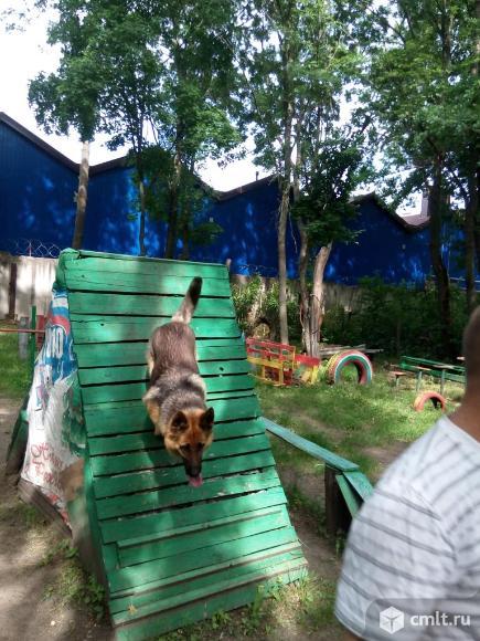 Немецкая овчарка,щенки от профессионально дрессированых производителей. Фото 8.