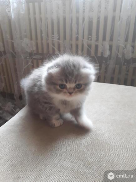 Котенок экзот. Фото 1.