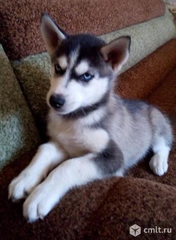 Сибирский хаски щенок. Фото 1.
