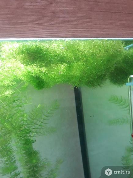 Растение риччия. Фото 2.
