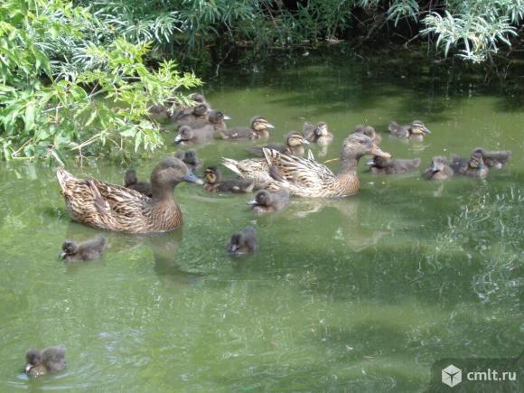 Подсадные утки и селезни для охоты. Фото 2.