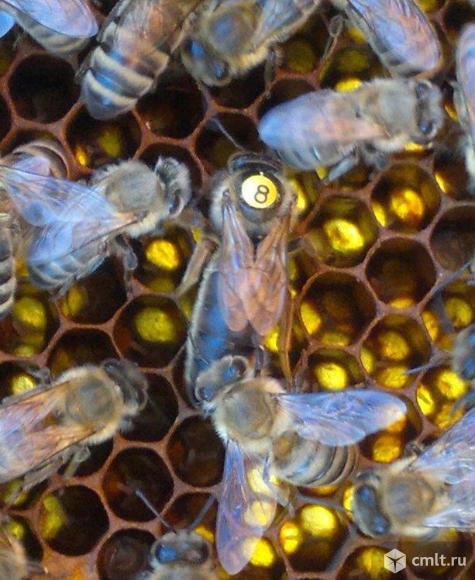 Пчелиные матки. Фото 1.