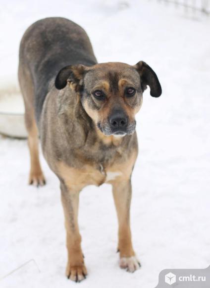 Крупная собака Лаура. Фото 5.