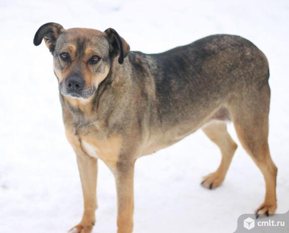 Крупная собака Лаура. Фото 1.