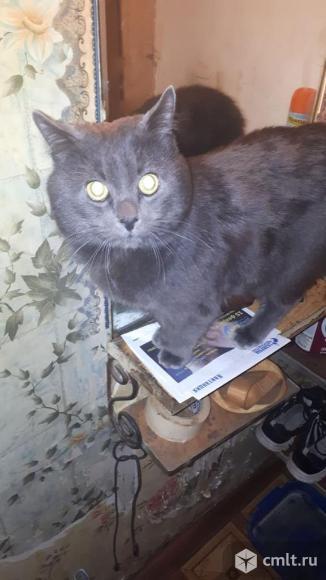 Отдам британского кота в хорошие руки. Фото 1.