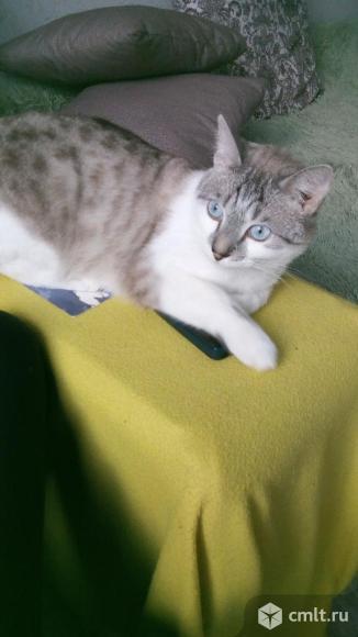 Кот породы  египетский мау. Фото 1.